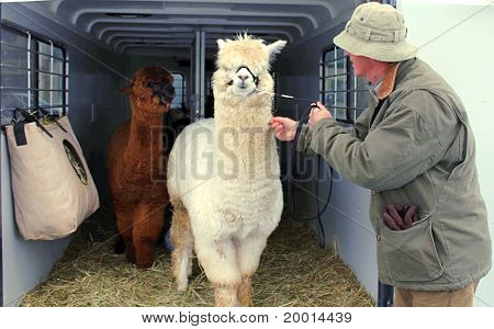 Alpacas coming out of a trailer