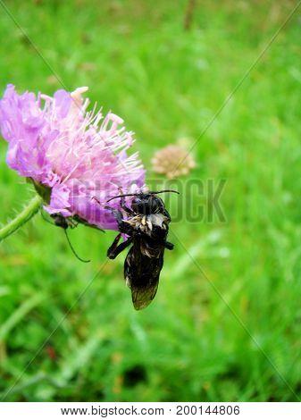 Biene saugt Nektar von einer violetten Wiesenblume