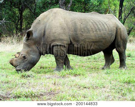 Nahaufnahme eines Nashorn Bullen in einem Nationalpark in Zimbabwe.Das Horn des Tieres wurde von Wildhütern vorsorglich abgenommen um das Tier vor Wilderern zu schützen.