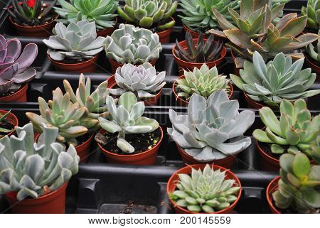 Many Colorful Potted Succulent Plants Growing Together