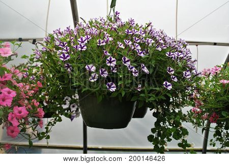 Purple and White Petunia Plants in a Hanging Pot