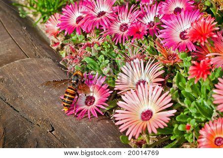 Hornet On A Gerbera Flower