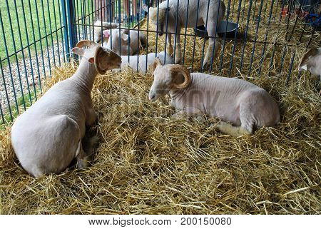 White Sheep in a Barn Laying on a Bed of Hay