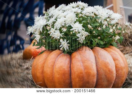 Flowers in large ribbed pumpkin. Thanksgiving Day and Halloween festive decoration and concept. Autumn, fall rustic background