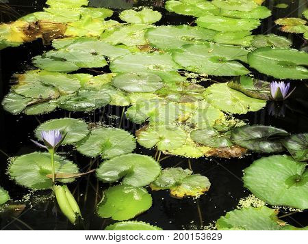 close up shot of water lily lotus and light in garden