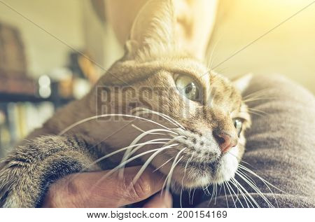tabby fat cat held by a woman at home