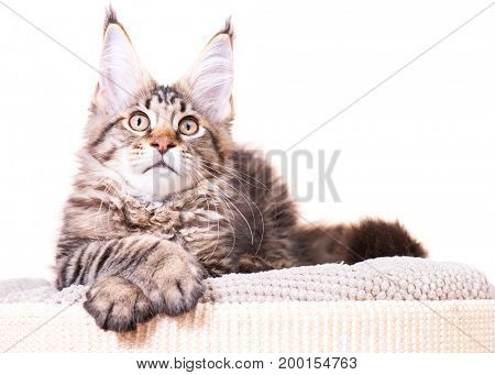 Portrait of domestic black tabby Maine Coon kitten - 3,5 months old. Cat isolated on white background.