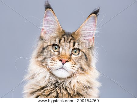 Portrait of domestic black tabby Maine Coon kitten. Cute young cat on grey background. Close-up studio photo of striped kitty looking at camera.