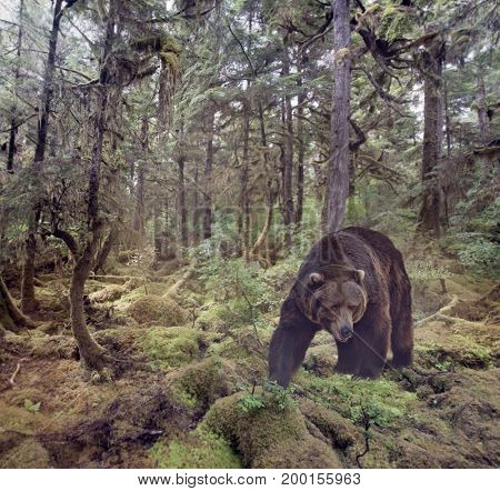 Grizzly Bear Walking in the woods
