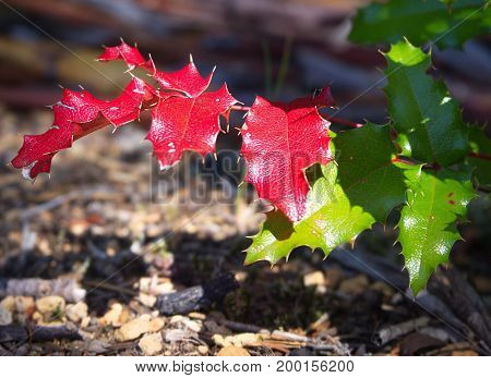The prickly leaves of Oregon Grape turned shiny red and green in the fall in Western Oregon on a sunny day.