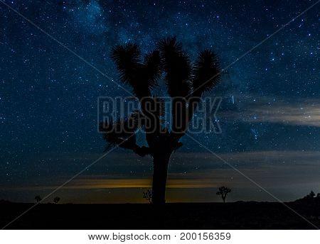 Centered Joshua Tree On Starry Night