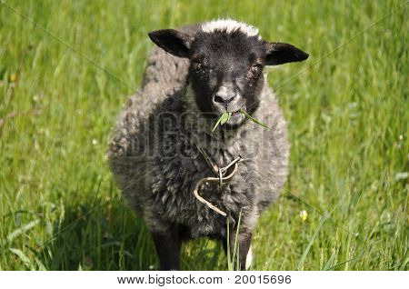 Grey sheep chewing grass on a green grass background