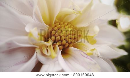 Beautiful white flower with a yellow core. Macro photography.