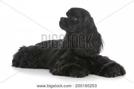 beautiful black female american cocker spaniel