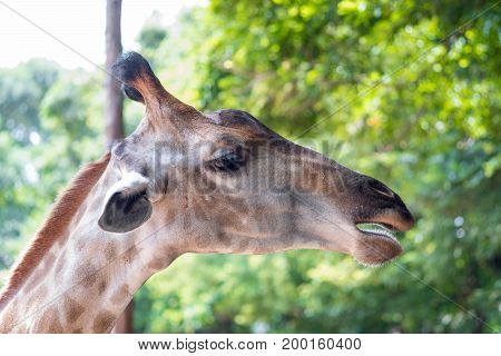 Close up shot of giraffe headIn nature
