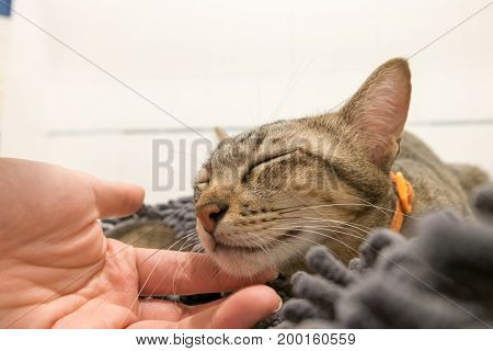 woman hand cuddle adorable Cat lying on gray carpet with Love. Lovely cute kittens at Home.