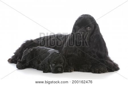 mother and daughter cocker spaniel dogs on white background