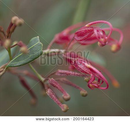 Australian red wildflower Grevillea splendour macro of spider flower bloom