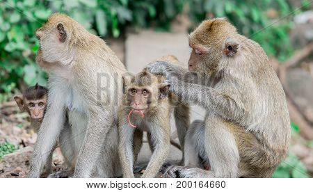 The brown monkeys happy family have father mother and children
