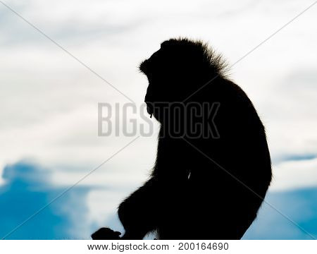 The silhouette of a monkey on a backdrop of the sky with copy space