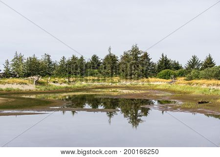 Yang Spruce Forest Reflection In The Small Puddle.