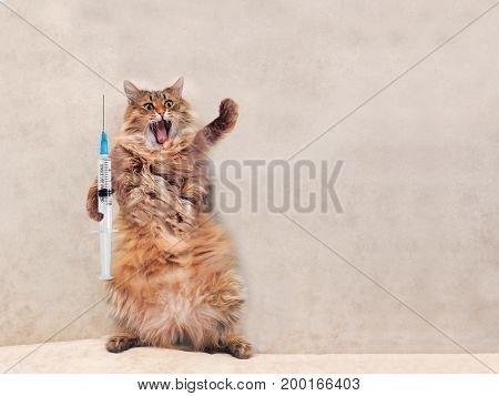 The Big Shaggy Cat Is Very Funny Standing.concept Of Medicine 5