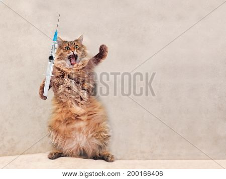 The Big Shaggy Cat Is Very Funny Standing.concept Of Medicine 4