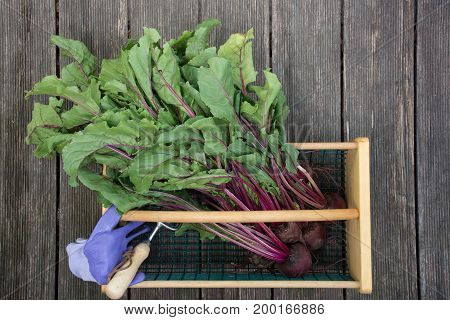 A wood and wire basket with beets including the greens, a pair of lavender garden gloves and a garden tool in the hod. Photographed against weathered wood planks.