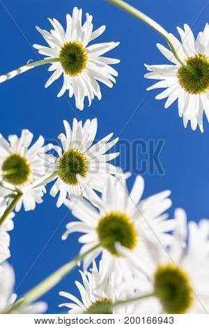 Chamomile flowers seen from the below. Ural, Russia