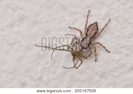 image of a jumping spider with prey