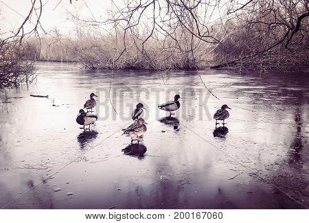 Wild duck in a frozen lake in Brunevang Rodovre Denmark