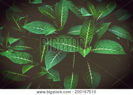 green leaves pattern dark green foliage for nature background