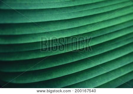 striped texture of green palm leaf abstract of banana leaf background.