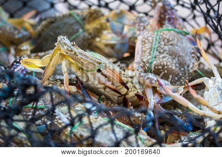 Crab are catched in the net basket