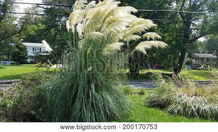 many large brown pampas grass shoots and tufts