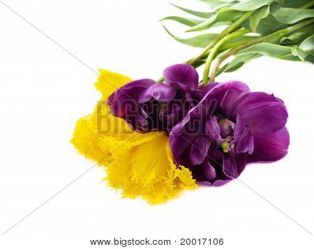 beautiful colorful yellow and purple tulips