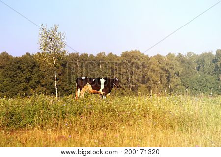 Photo of a beautiful cow in a field in the sunny afternoon