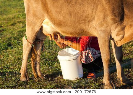 Squeeze milk in the pasture