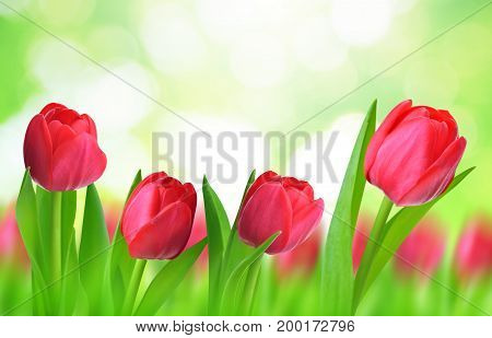 Red tulips with leaves on natural green background.