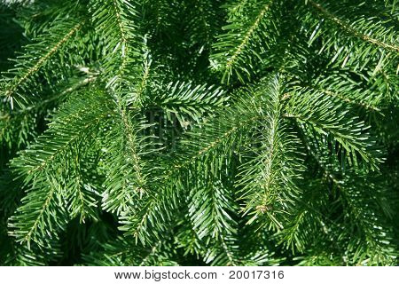 conifer branches