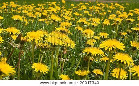 Plantation Dandelions