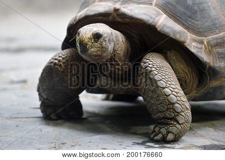 Aldabra giant tortoise in a zoological garden