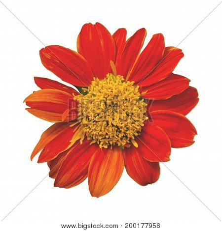 Zinnia violacea. Orange flower isolated on white background. This has clipping path.
