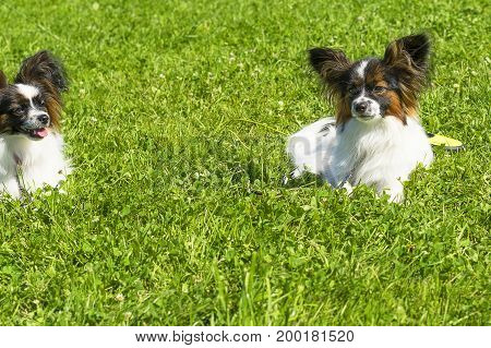 Terrier Standing in the rack, green background.