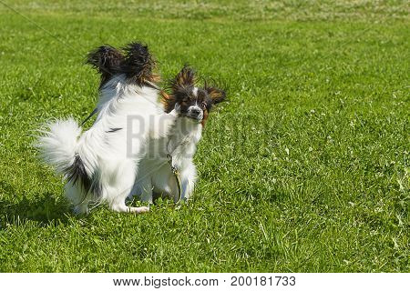 Two little terriers playing on green grass.