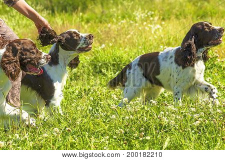 Setter is a group of breeds of specialized hunting dogs, a long-haired species of English dog-dogs.