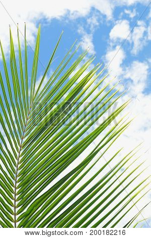Picture of Green coconut leaf and Blue sky
