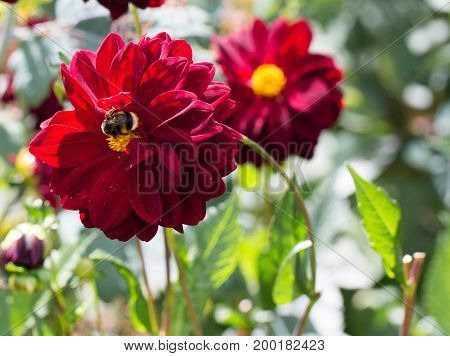 Bumble bee collecting pollen from a deep purple coloured dahlia in an english country garden