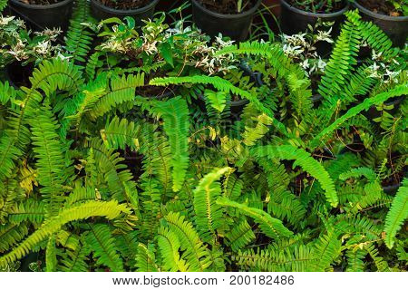 many green fern with a sunshine in morning at forest. image for nature, background, plant, tree, texture concept