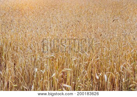 Harvesting ears of rye. Gathered crops on field of agricultural farm. Golden ears of grain crops. Klaipeda Lithuania Baltic